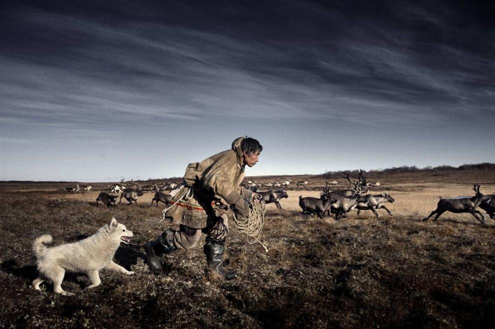 4. Ненецкий пастух готовится заарканить оленя. Ненецкая культура полагается на северных оленей в качестве основного источника пищи и одежды. Однако изменение климата повлияло и на оленей. Задержки в ежегодной миграции на юг означают недостаток свежих пастбищ для пропитания стад перед весной. (Yuri Kozyrev / Consequences by NOOR)