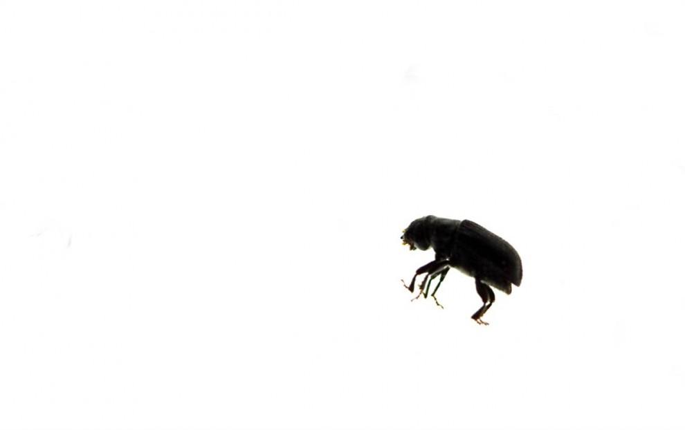 5. Лубоед-стригун размером с рисовое зернышко. Они маленькие, но их много, а значит они могут пожирать целые леса. В холодную погоду их личинки погибают, но низкие температуры случаются все реже. Более того, жаркое лето позволяет этим жукам закончить свой репродуктивный цикл за один год, а не за два, что значительно увеличивает их численность. В США представители Службы охраны лесов полагают, что сосна скрученная широкохвойная, чаще всего встречающаяся на возвышенностях, погибнет уже к 2013 году. А на возрождение этих сосен может уйти не одно десятилетие. (Nina Berman/noor / Consequences by NOOR)