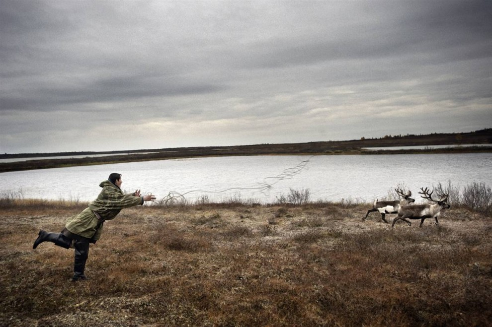5. Ненцы путешествуют со стадами одомашненных северных оленей, используя арканы, когда приходит время убить одного из них. (Yuri Kozyrev / Consequences by NOOR)