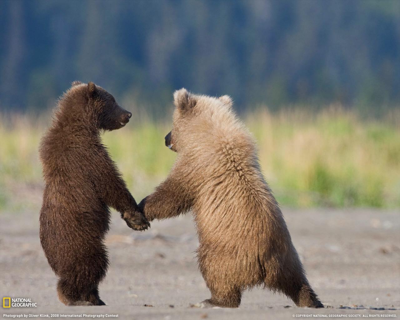 6) Медвежаты гризли.