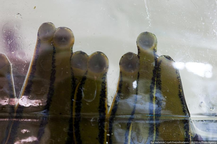 7) У пиявки 10 глаз, но целостного изображения пиявка не воспринимает. Несмотря на кажущуюся примитивность чувственного восприятия пиявок, они великолепно ориентируются в пространстве. Обоняние, вкус и осязание развиты у них необычайно, что способствует их успеху в поисках жертвы. В первую очередь пиявки отлично реагируют на запахи, исходящие от погруженных в воду предметов. Дурно пахнущей воды пиявки не переносят.
