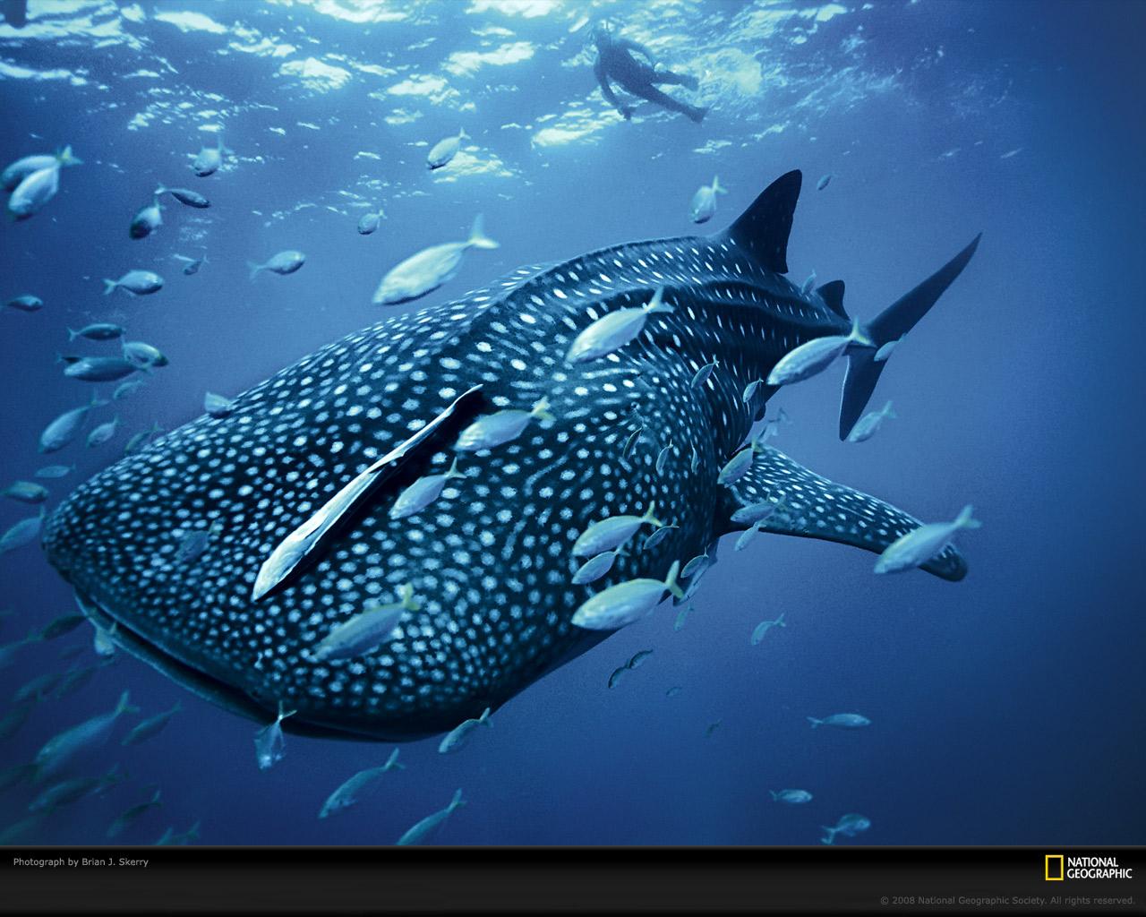 7) Китовая акула.