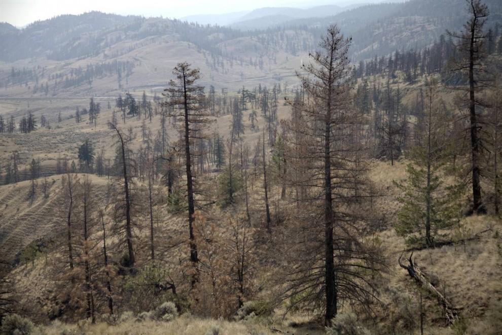 8. Мертвые сосны, такие как эти в Британской Колумбии, - топливо для лесных пожаров. В 2009 году на территории Британской Колумбии случилось столько пожаров, сколько не случалось никогда за всю ее историю. В США непрекращающаяся эпидемия лубоедов-стригунов погубила 6,% миллионов акров леса от Колорадо до Вашингтона. Эта площадь равняется штату Массачусетс. (Nina Berman/noor / Consequences by NOOR)