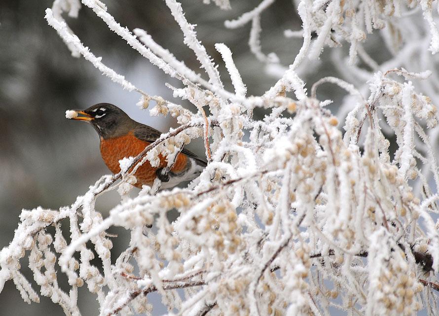 10. Малиновка ест покрытые инеем ягоды лоха узколистного на окраине Биллингса, штат Монтана. (AP Photo/Billings Gazette, larry mayer)