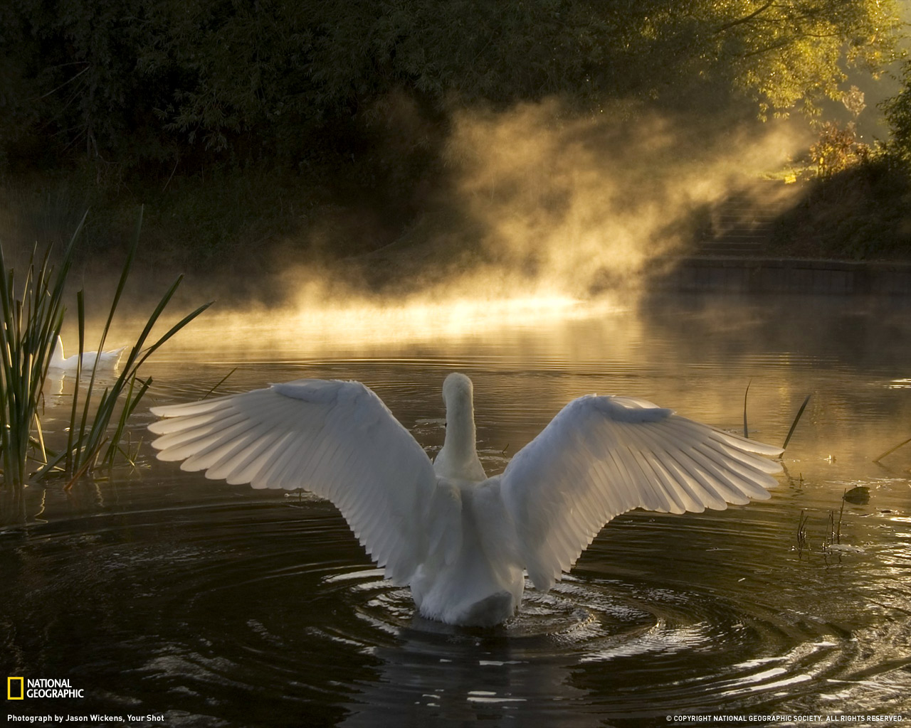 11) Лебедь на реке Эйвон.