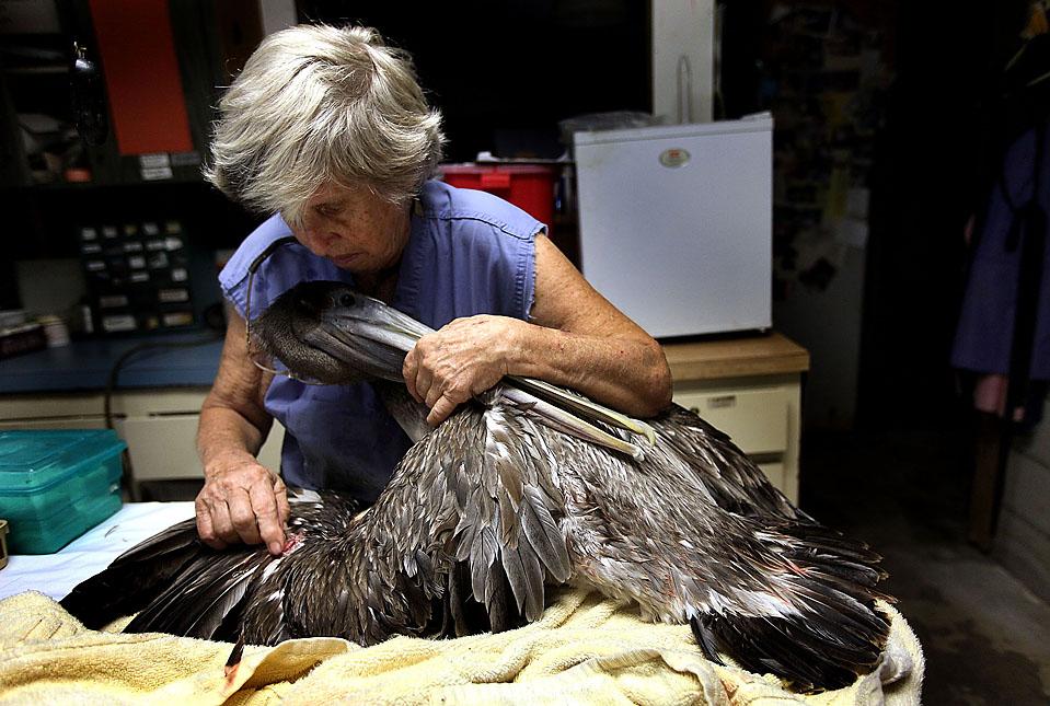 11) Лора Квин, основательница реабилитационного центра для диких птиц Фрорида Киз, осматривает пеликана со сломанным крылом в Тавернье, штат Флорида. Центр, который был близок к закрытию из-за отсутствия пожертвований, ежегодно помогает около 700 птицам. После лечения птиц выпускают на волю. (Joe Raedle/Getty Images)