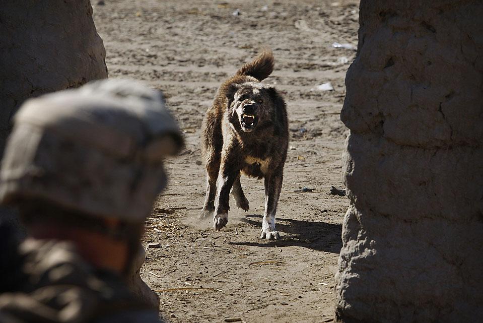 8) Собака лает на военнослужащего морской пехоты США во время операции в Гармсире в афганской провинции Гильменд. В среду в провинции Гильменд от взрыва бомбы погибли трое гражданских лиц и было ранено пятеро. (Kevin Frayer/Associated Press)
