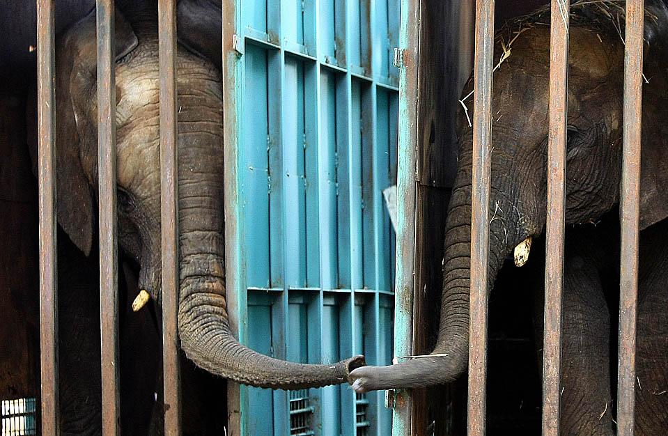15. Слоны Ботен (слева) и Ноа (справа) прикасаются друг к другу хоботами в ожидании перевозки из сафари-парка в Рамат Гане, Израиль, в зоопарк в Венгрии. (Jack Guez/Agence France-Presse/Getty Images)