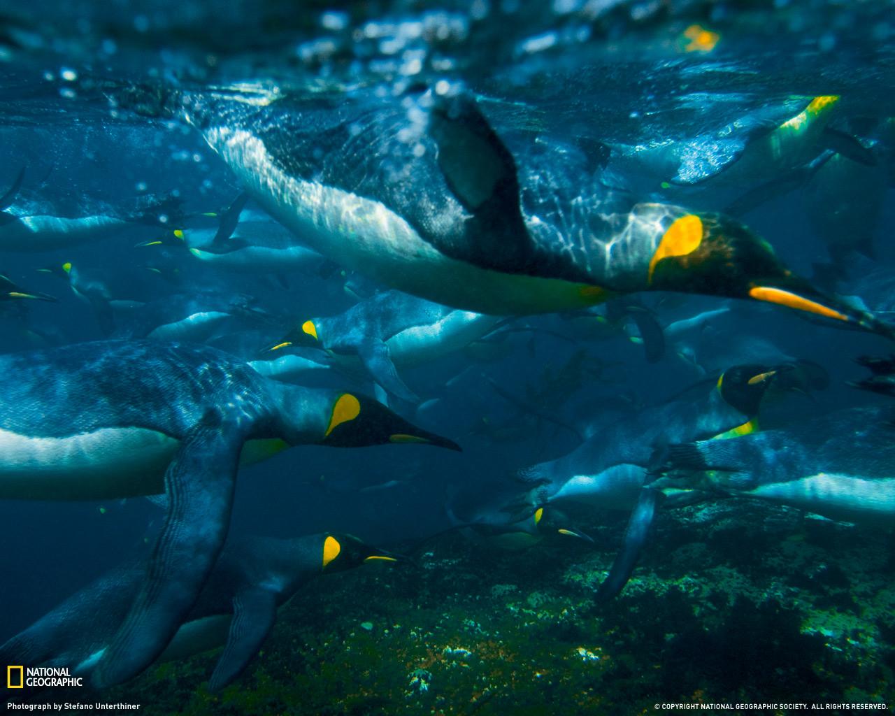 12) Пингвины.