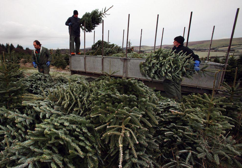 13) 100 000 кв. м., на которых выращивают елки для праздников. (EPA / 1 декабря 2009/ Англия)
