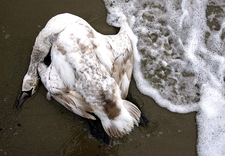 9) Мертвый лебедь лежит на берегу недалеко от Варны, Болгария. Недавно тут произошел разлив нефти, загрязнивший крупный земельный участок на Черном море. (Petar Petrov/Associated Press)