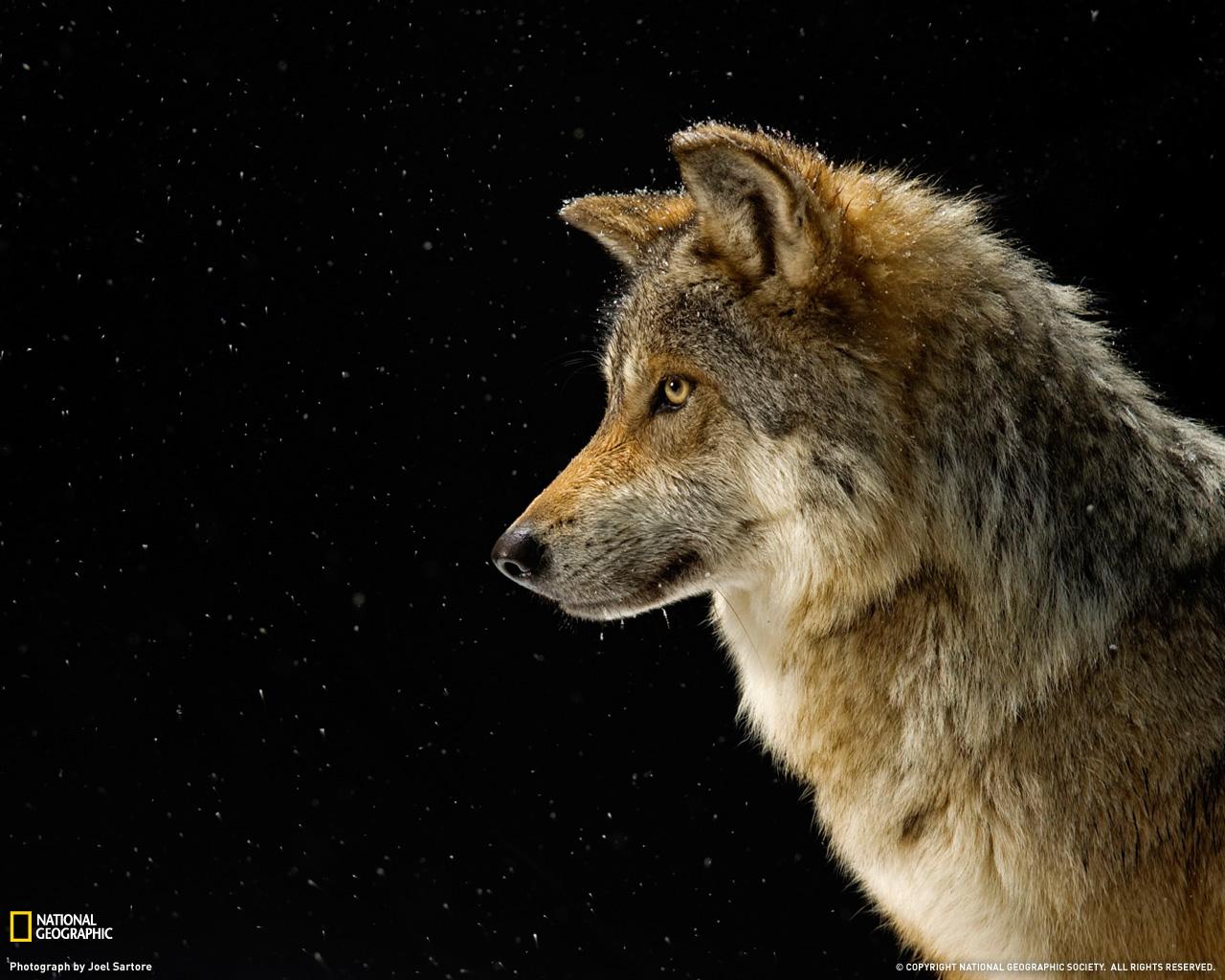 14) Мексиканский серый волк.