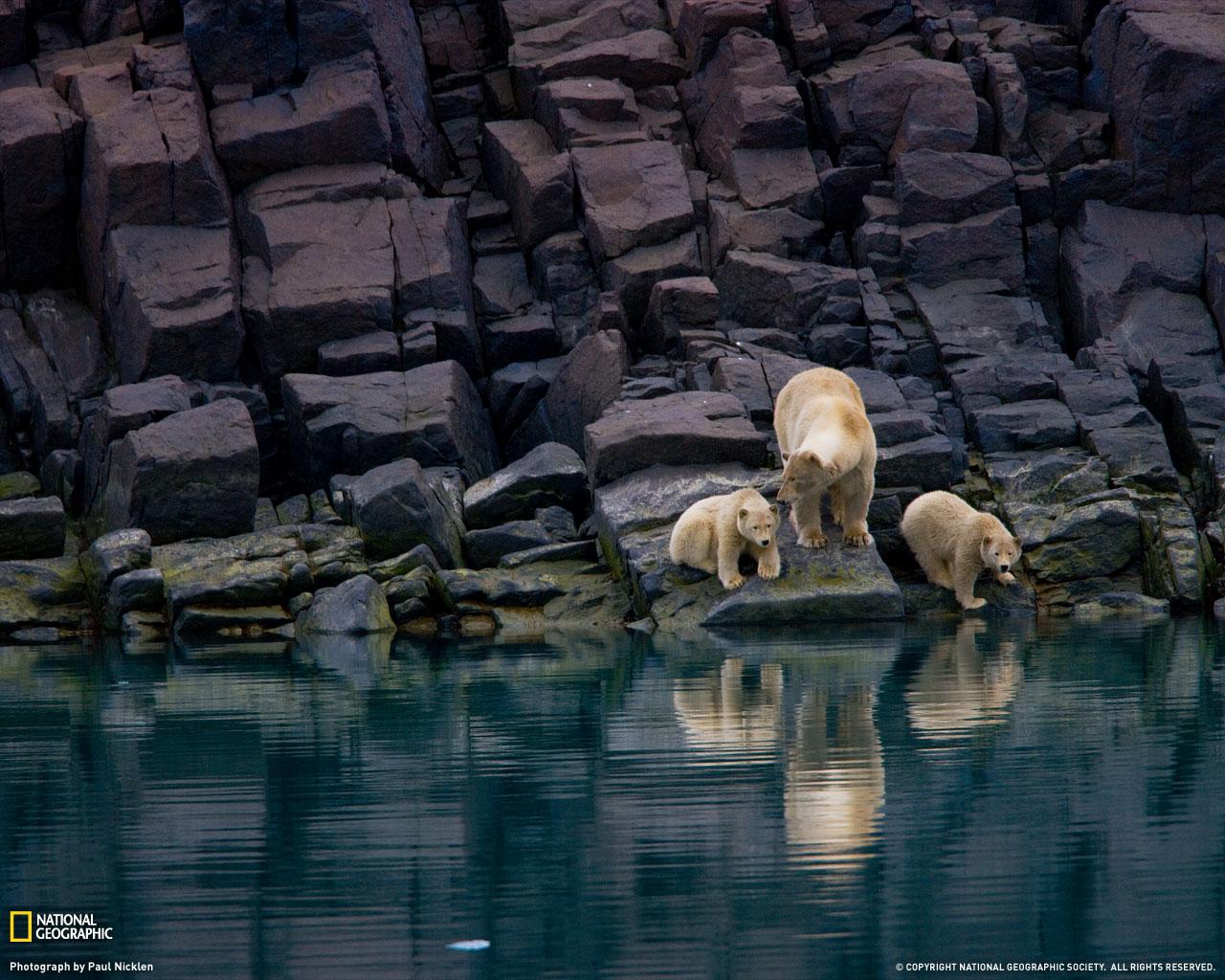 16) Белая медведица с медвежатами.
