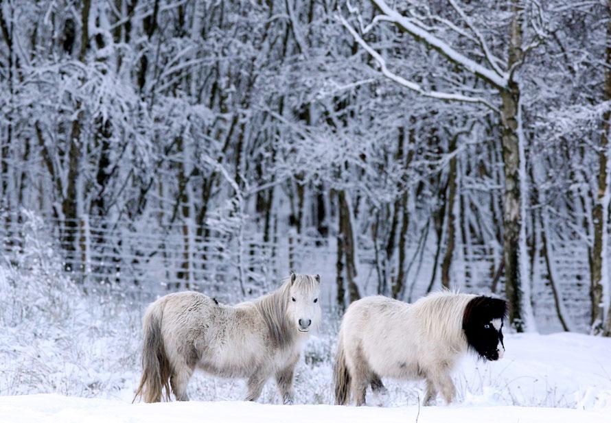 18. Два Шетландских пони в Анфилд Плэйн, Англия. Большая часть Европы была охвачена снегопадами и морозами, что заметно остановило движение транспорта в крупных городах. (AP Photo/Scott Heppell)