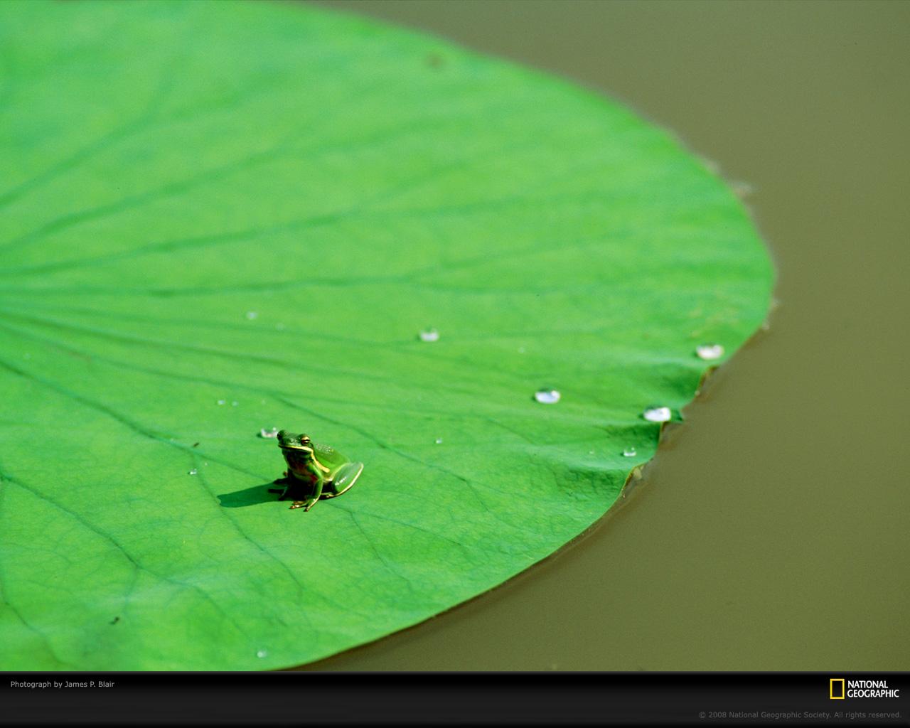 18) Зеленая лягушка.