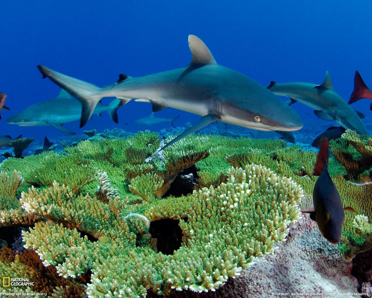 21) Серые рифовые акулы.