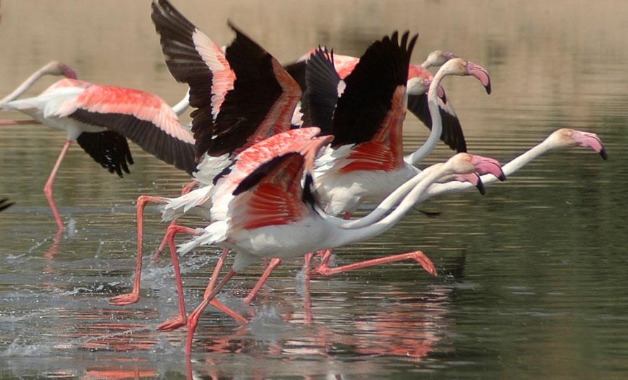 21) Стаи мигрирующих фламинго в пруду на окраине индийского города Ахмадабада. По сообщениям СМИ, орнитологи предупреждают, что число птиц, мигрирующих в этом году, может быть гораздо меньше из-за беспорядочного изменения их среды обитания. (AP Photo/Ajit Solanki)