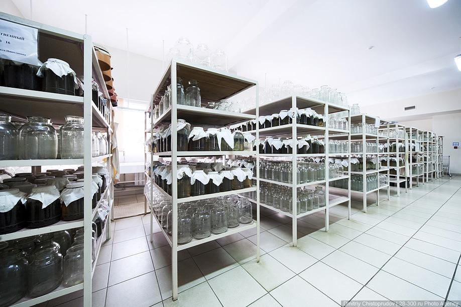 31) Пригодные для воспроизводства, то есть тщательно откормленные и достигшие заданных размеров пиявки носят название маток.