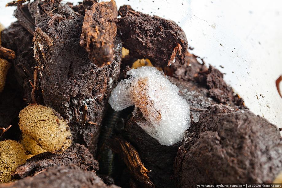 37) Прорывая неглубокий ход в почве, пиявка откладывает в него кокон из которого в последствии выводятся нитчатки - так называют пиявководы маленьких молодых пиявок. Их масса достигает от силы 0,03 г, а длина тела равняется 7-8 мм. Нитчаток откармливают тем же способом, что и взрослых особей.