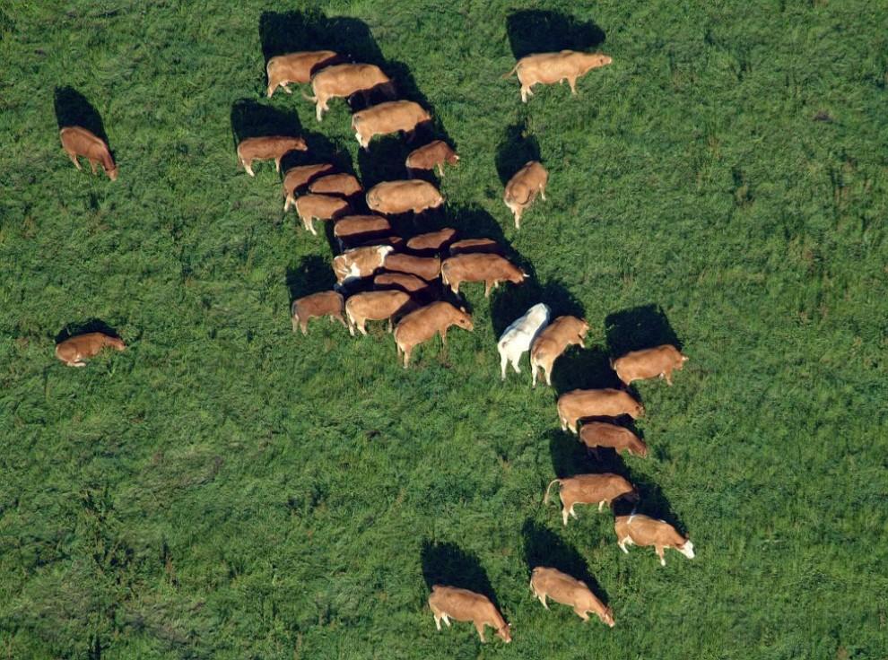 34. Вид с воздуха на коричневых коров на зеленом поле. В стаде можно заметить одну белую корову.
