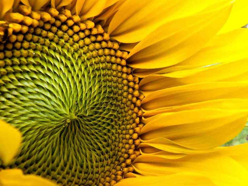 """6) В теме """"Лето"""" поздравления принимает Сильвия Сима с фантастическим макроснимком подсолнечника. Насыщенные цвета и изысканная глубина поля, которое держит сердце цветка."""