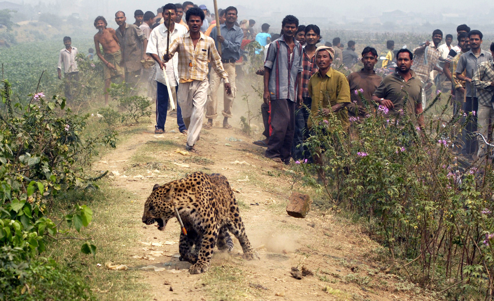 25. Леопард с транквилизатором в шее идет по жилому району Гувахати – столице северо-восточного индийского штата Ассам, 15 марта 2009 года. Три человека серьезно пострадали, после того как дикая кошка ворвалась в город. Взрослый самец леопарда бродил по густонаселенному городу, когда любознательная толпа спугнула животное. (BIJU BORO/AFP/Getty Images)