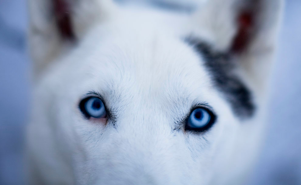 28. Собака Ронды О'Херн из Сэндауна, Нью-Хэмпшир, ждет начала 96-километрового забега на санях в Форт Кент, штат Мэн, 28 февраля 2009 года. (Yoon S. Byun/Globe Staff)
