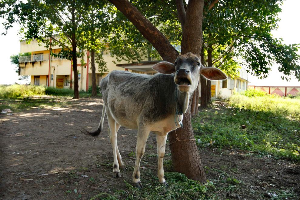 20.  Dalam foto ini diambil pada tanggal 21 November 2009, fotografer menangkap seekor sapi.  Salah satu yang ditemukan di sebuah rumah sakit pemerintah, yang diberikan kepada korban kebocoran gas di sebuah pabrik di Bhopal, India.  (AP Photo / Saurabh Das)