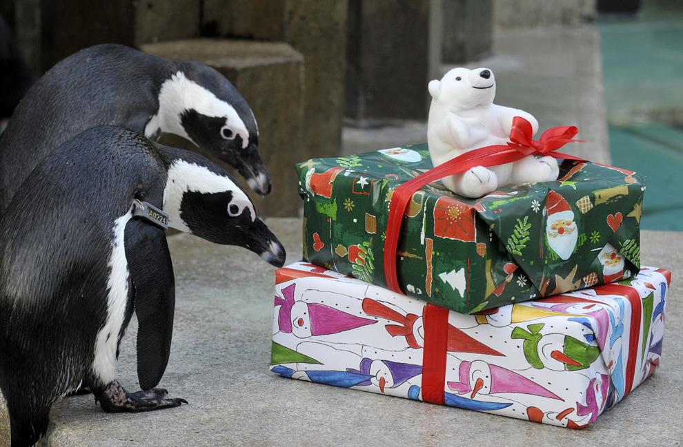 17. Пара пингвинов исследует рождественские подарки в зоопарке в городе Ганновер на севере Германии 23 декабря 2009 года. Внутри работники зоопарка заботливо положили еду. (STEFAN SIMONSEN/AFP/Getty Images)