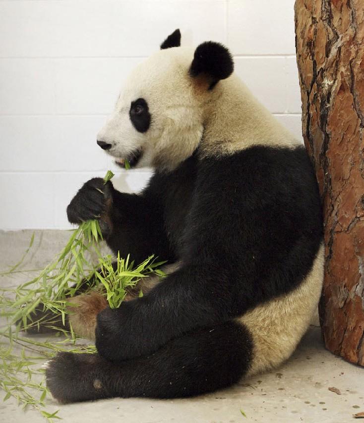 11. Панда Ванг Ванг ест бамбук 28 ноября в зоопарке Аделаиде в Австралии. Китай предоставил эту панду австралийскому зоопарку на 10 лет в рамках совместного исследовательского проекта. (Brian Charlton, Adelaide Zoo / AP)