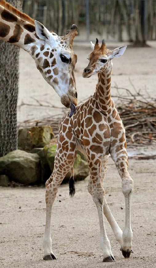 14. Детеныш жирафа Сара стоит рядом со своей мамой Джуджи в вольере в зоопарке Ганновера 24 ноября. Сара и ее мама – жирафы Ротшильда – второй наиболее подверженный риску вымирания подвид жирафов. (Stefan Simonsen, AFP / Getty Images)