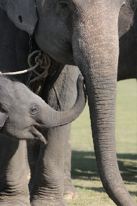 19. Слоненок стоит рядом со своей мамой на 49-ом мероприятии, посвященном слонам, в Сурине, Таиланд, 21 ноября. (David Longstreath, AP)