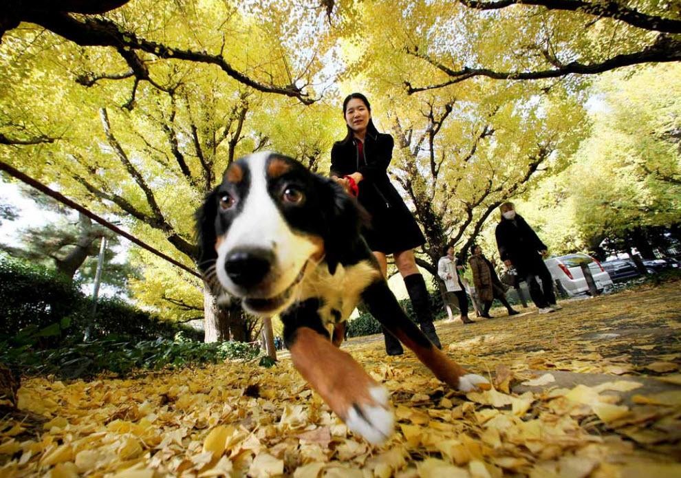 21. Девушка гуляет с собакой под покровом листвы деревьев гингко в Токио 20 ноября. (Itsuo Inouye, AP)