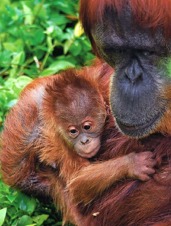 23. Самка суматрийского орангутанга Путери и ее детеныш обнимаются в зоопарке Перт в Австралии 20 ноября. (Michelle Fleming, Perth Zoo / AP)