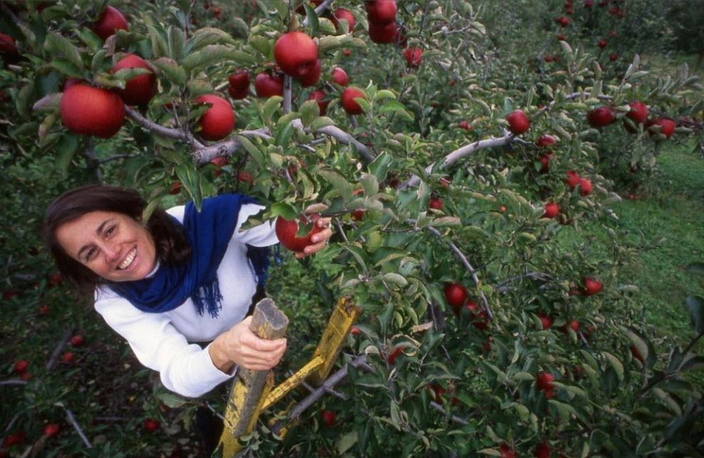 17. Богатая почва и удобные холмы долины Гудзон с 19 века дают все условия для роста яблоневых садов. Зачастую приходится воспользоваться лестницей, чтобы сорвать красный спелый фрукт. (Peter Guttman)
