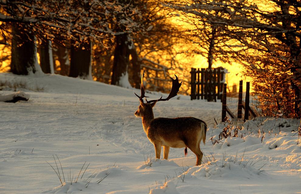 10. Олень остановился в парке Кноле, Севеноукс, Кент, Англия, 18 декабря 2009 года. (CARL DE SOUZA/AFP/Getty Images)