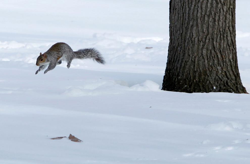 23. Белка прыгает по толстому слою снега, перебираясь с дерева на дерево, недалеко от памятника ветеранам войны во Вьетнаме у торгового центра в Вашингтоне 21 декабря 2009 года. (CHIP SOMODEVILLA/AFP/Getty Images)