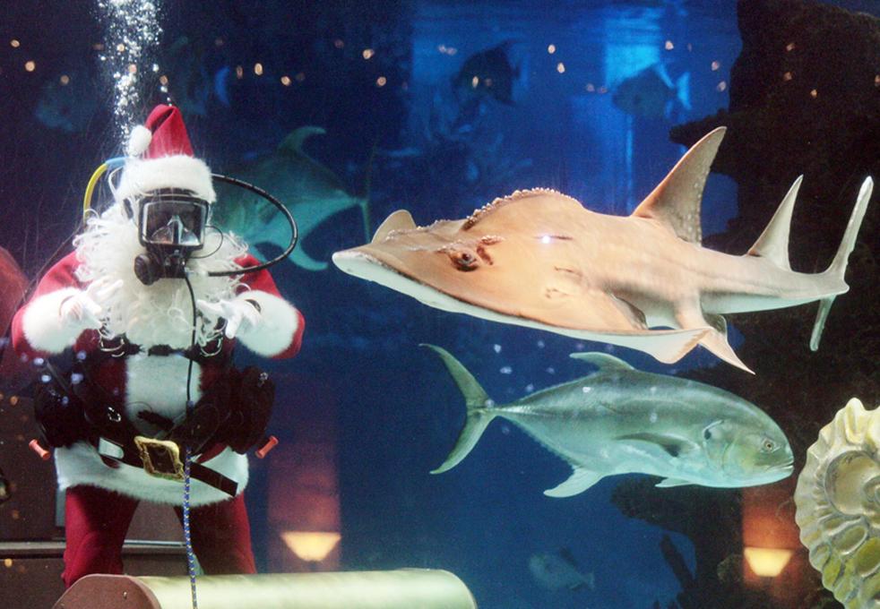 12. Санта-дайвер плавает в аквариуме Ньюпорта, штат Кентукки, в воскресенье 28 ноября во время своего ежедневного визита в аквариум на берегу реки Огайо. 9 The Enquirer / Ernest Coleman)