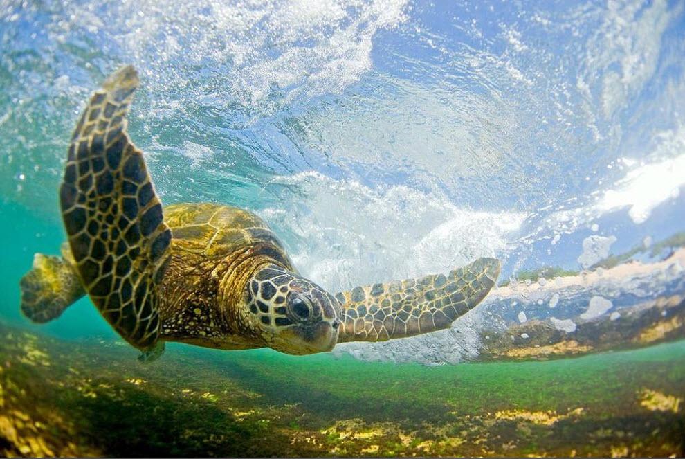 5. «Морские черепахи подплывают близко к берегу, так как питаются на коралловых рифах на отмели. Они очень сосредоточены и всегда следят за разбивающимися волнами». (Clark Little)