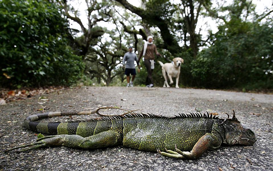 10. Игуана лежит на тропинке на фоне проходящей мимо молодой семьи в Дэви, штат Флорида. Мороз приводит игуан в ступор, и они падают с деревьев. В теплую погоду они просыпаются. Морозы охватили штат, угрожая урожаю фруктов, чего не было уже 20 лет. (Hans Deryk/Reuters)