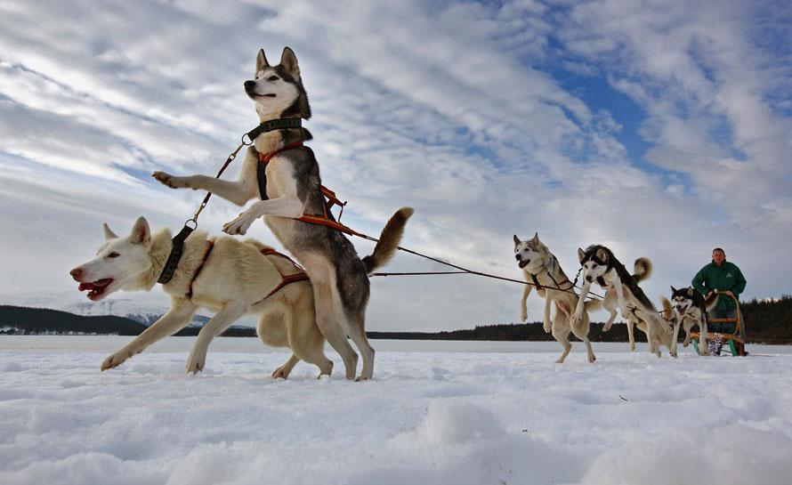 3. Пит Джонс и его упряжка готовятся к 27-ому ежегодному «собачьему ралли» на санях у озера Лох Морлих в Авиеморе, Шотландия. Более 1000 собак примут участие в крупнейшем забеге собак хаски в этом году, который впервые за 15 лет будет проводится проводиться на снегу. (Photo by Jeff J Mitchell/Getty Images)