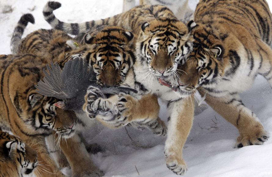 6. Сибирские тигры борются за птицу в зоопарке Харбина на северо-востоке китайской провинции Хэйлунцзян. (AP Photo/Ng Han Guan)