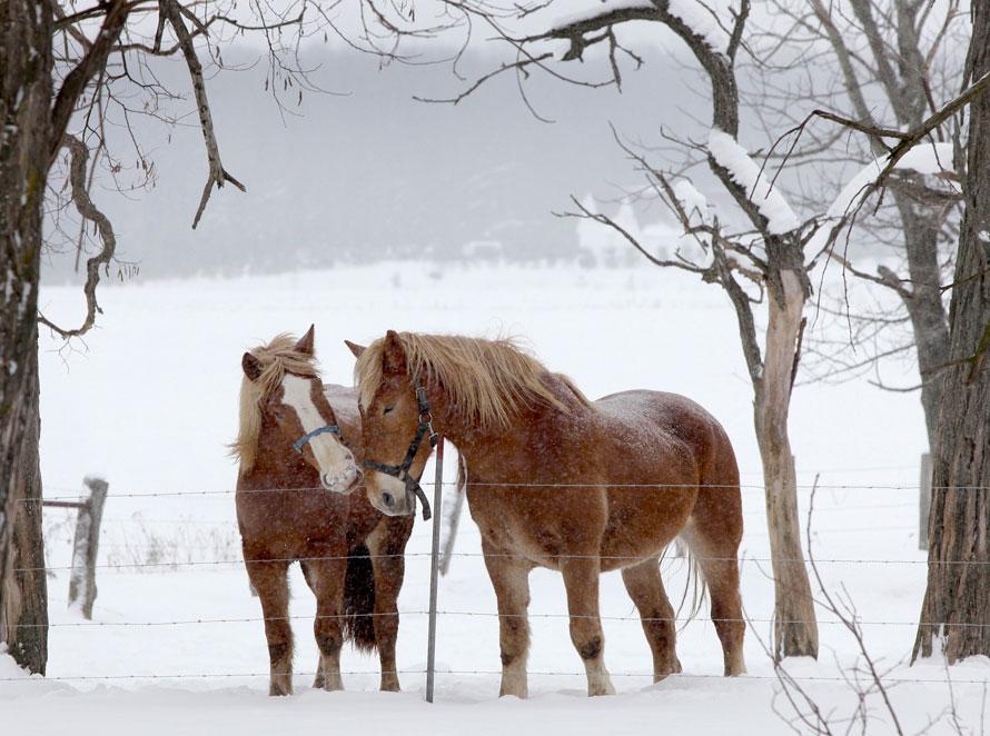 12. Две бельгийские рабочие лошади стоят вместе на ферме в Миддлфилде, штат Огайо. (AP Photo/Amy Sancetta)