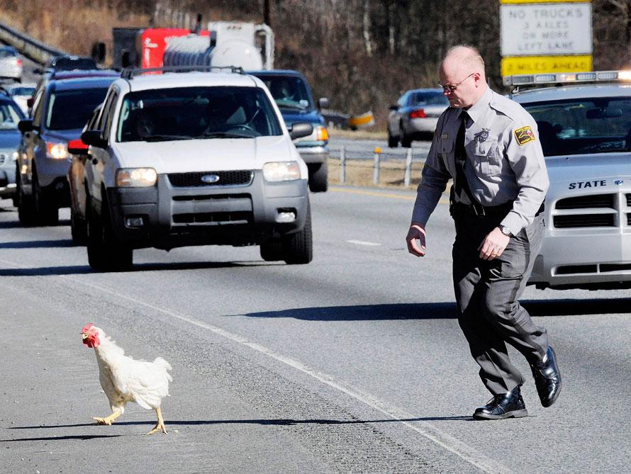 12. Патрульный Северной Каролины пытается поймать курицу, чтобы убрать ее с шоссе №85, недалеко от Лексингтона, штат Северная Каролина. (AP Photo/The Dispatch, Donnie Roberts)