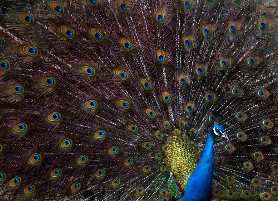 17. Павлин красуется своим оперением зимним днем в зоопарке Филадельфии. (AP Photo/Camden Courier-Post, Jose F. Moreno)