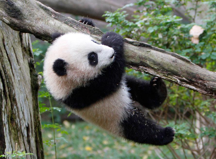 17. Юн Ци – пятимесячная панда – висит на ветке в одном из вольеров с пандами в зоопарке Сан-Диего. Юн Ци была представлена публике в четверг. (AP Photo/Lenny Ignelzi)