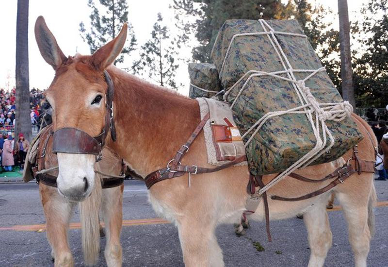 14) Даже мул из отряда американской морской пехоты принял участие в действе. (Alberto E. Rodriguez/Getty Images)
