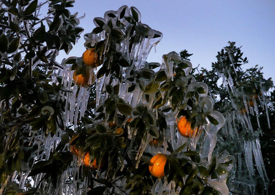 6) Апельсиновая роща, расположенная вдоль дороги Спрингс Лейк Хайвей. Фермеры, выращивающие цитрусовые, готовятся к серъезныму ущербу. Согласно предварительным оценкам, урожай апельсинов и грейпфрутов в нынешнем году может снизиться на 30%. (Maurice Rivenbark, Times)