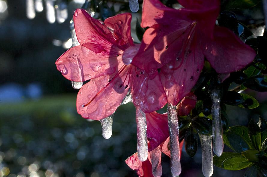 2) Покрытые льдом цветы азалии в центре Орландо. (WILLIE J. ALLEN JR., Times)