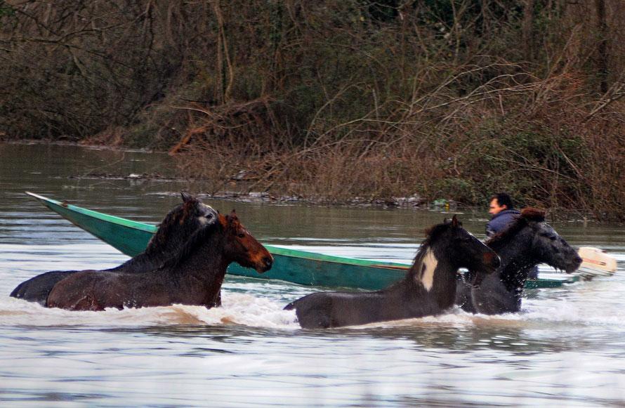 5. Стадо диких лошадей пытается выйти из воды, после того как озеро Скадар затопило недалеко от поселка Понари в 9 км у югу от столицы Черногории Подгорица. Наводнение произошло после того, как тут прошли ливни и растаял снег. (AP Photo/Risto Bozovic)